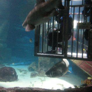 shark dive7